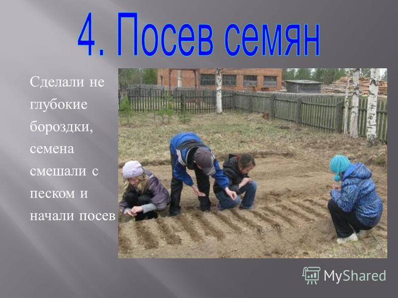 Сделали не глубокие бороздки, семена смешали с песком и начали посев