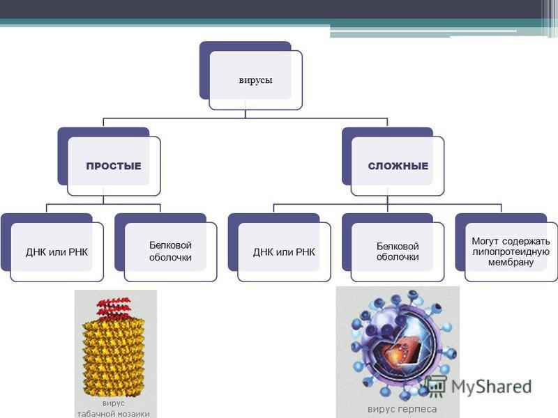вирусы ПРОСТЫЕ ДНК или РНК Белковой оболочки СЛОЖНЫЕ ДНК или РНК Белковой оболочки Могут содержать липопротеидную мембрану