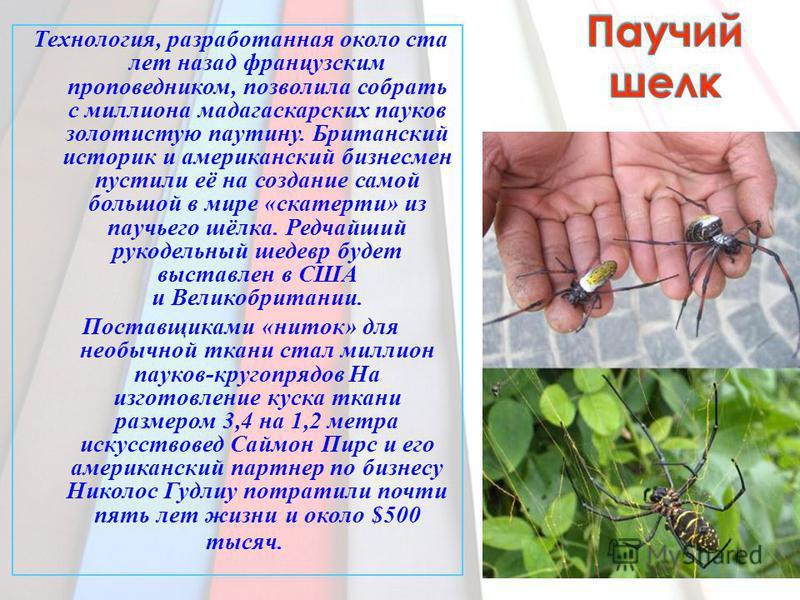 Технология, разработанная около ста лет назад французским проповедником, позволила собрать с миллиона мадагаскарских пауков золотистую паутину. Британский историк и американский бизнесмен пустили её на создание самой большой в мире «скатерти» из пауч