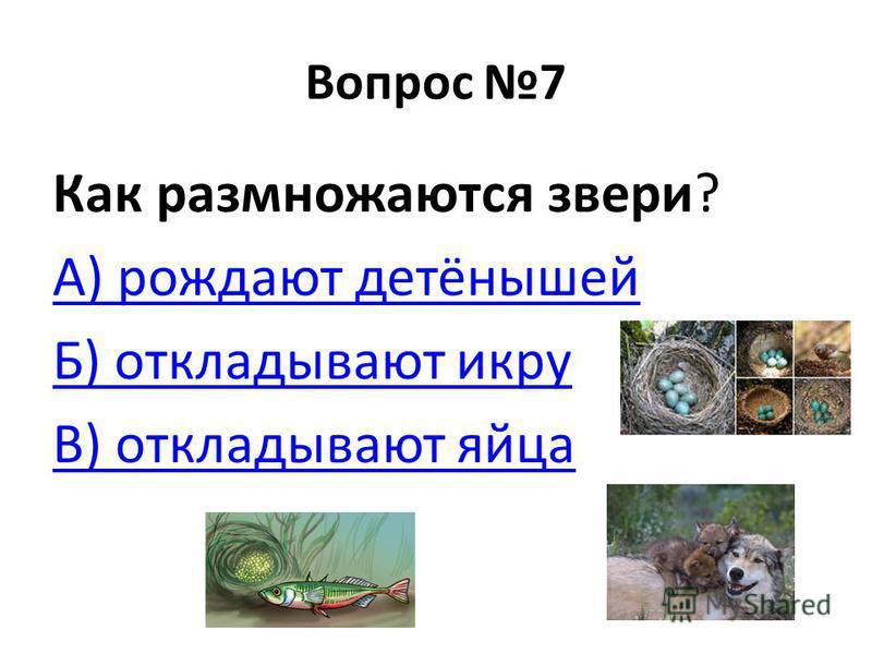 Вопрос 7 Как размножаются звери? А) рождают детёнышей Б) откладывают икру В) откладывают яйца