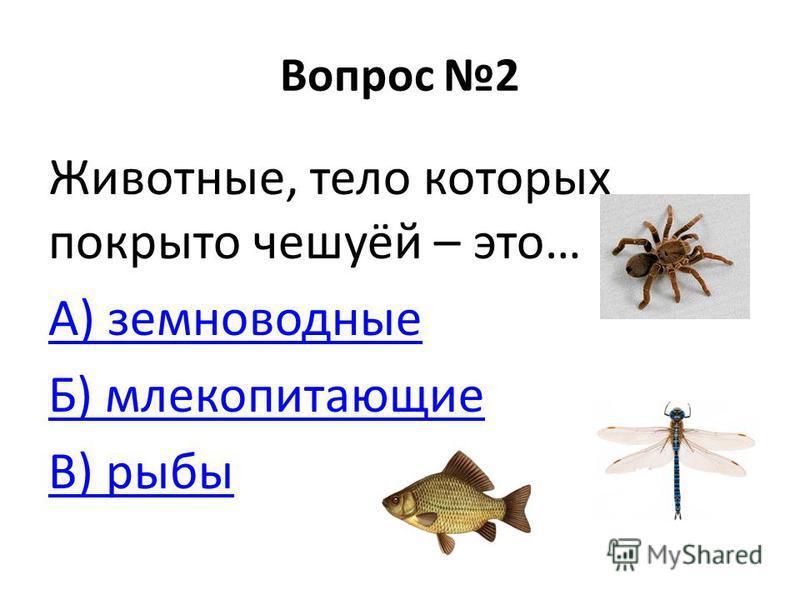 Вопрос 2 Животные, тело которых покрыто чешуёй – это… А) земноводные Б) млекопитающие В) рыбы