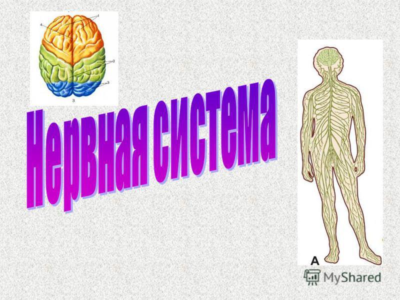 Презентация на тему Значение Через нервную систему замыкаются  2 Значение Через нервную систему замыкаются все рефлексы Нервная система регулирует работу