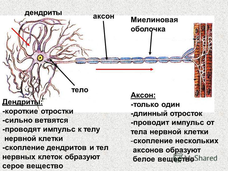 тело дендриты аксон Миелиновая оболочка Дендриты: -короткие отростки -сильно ветвятся -проводят импульс к телу нервной клетки -скопление дендритов и тел нервных клеток образуют серое вещество Аксон: -только один -длинный отросток -проводит импульс от