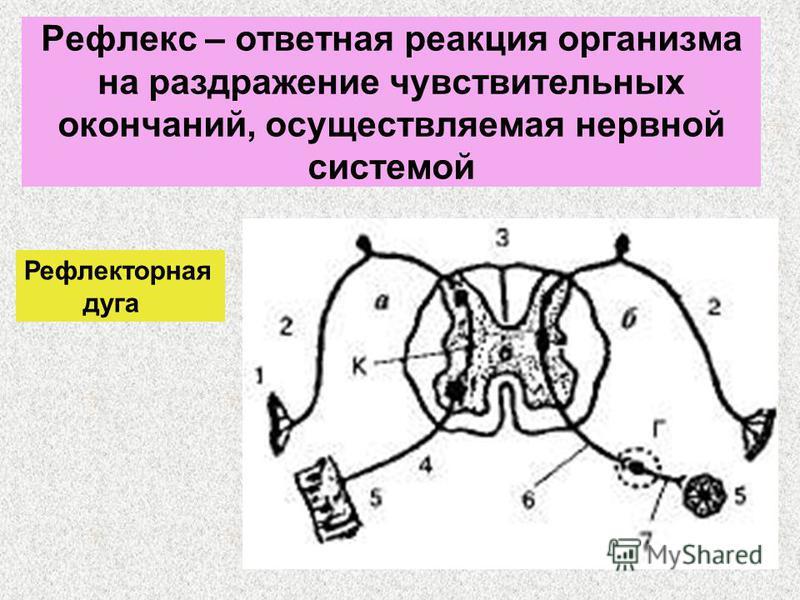 Рефлекс – ответная реакция организма на раздражение чувствительных окончаний, осуществляемая нервной системой Рефлекторная дуга