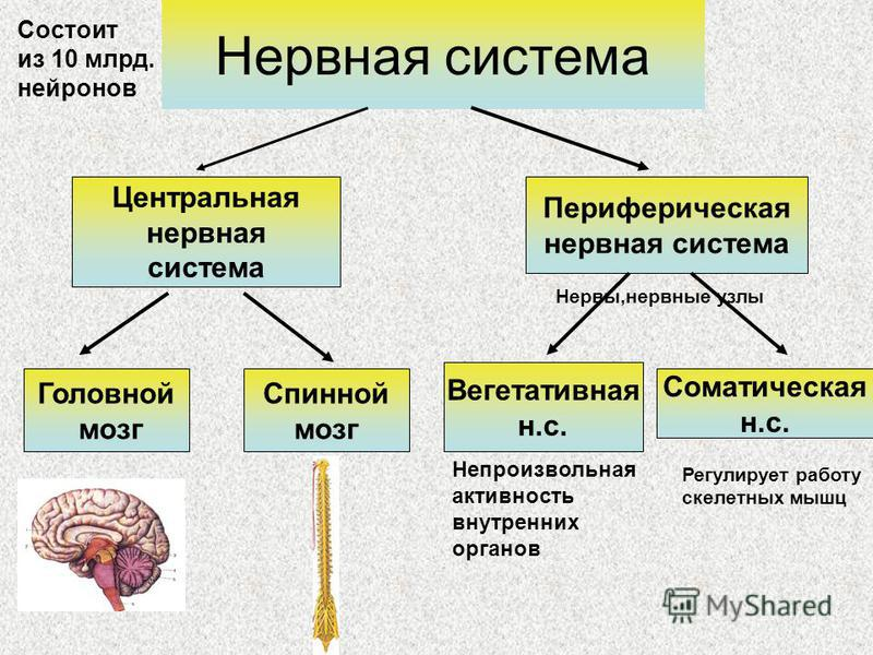 Нервная система Центральная нервная система Периферическая нервная система Головной мозг Спинной мозг Вегетативная н.с. Соматическая н.с. Непроизвольная активность внутренних органов Регулирует работу скелетных мышц Нервы,нервные узлы Состоит из 10 м
