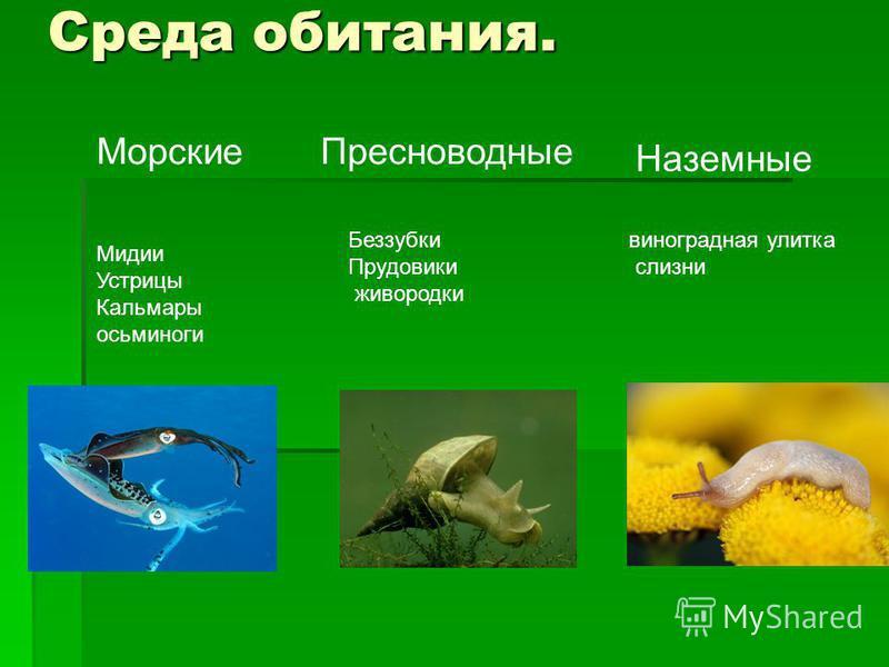 Среда обитания. Морские Пресноводные Наземные Мидии Устрицы Кальмары осьминоги Беззубки Прудовики живородки виноградная улитка слизни