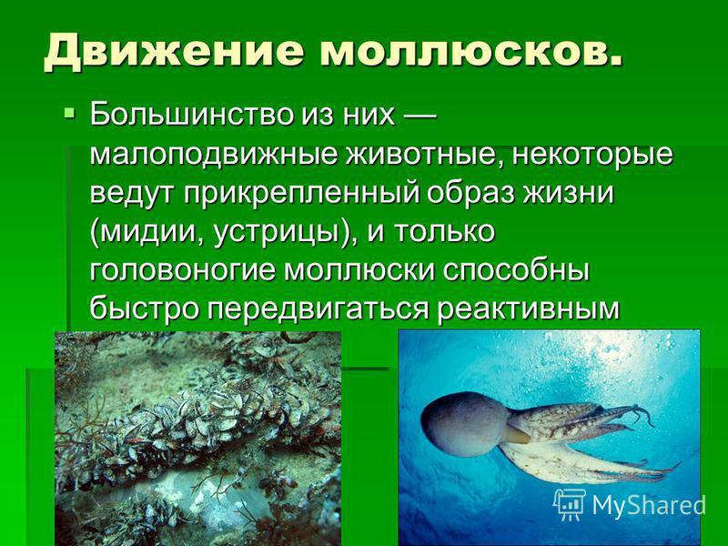 Движение моллюсков. Большинство из них малоподвижные животные, некоторые ведут прикрепленный образ жизни (мидии, устрицы), и только головоногие моллюски способны быстро передвигаться реактивным способом. Большинство из них малоподвижные животные, нек