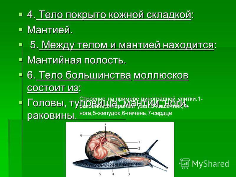 4. Тело покрыто кожной складкой: 4. Тело покрыто кожной складкой: Мантией. Мантией. 5. Между телом и мантией находится: 5. Между телом и мантией находится: Мантийная полость. Мантийная полость. 6. Тело большинства моллюсков состоит из: 6. Тело больши
