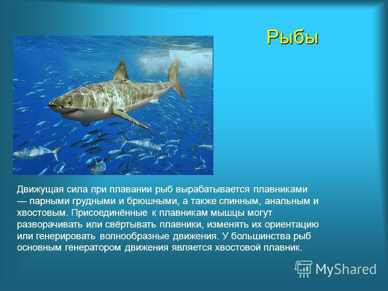 Рыбы Движущая сила при плавании рыб вырабатывается плавниками парными грудными и брюшными, а также спинным, анальным и хвостовым. Присоединённые к плавникам мышцы могут разворачивать или свёртывать плавники, изменять их ориентацию или генерировать во