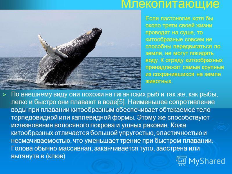 Млекопитающие По внешнему виду они похожи на гигантских рыб и так же, как рыбы, легко и быстро они плавают в воде[5]. Наименьшее сопротивление воды при плавании китообразным обеспечивает обтекаемое тело торпедо видной или каплевидной формы. Этому же