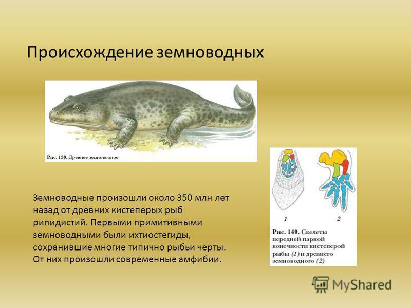 Происхождение земноводных Земноводные произошли около 350 млн лет назад от древних кистеперых рыб рипидистий. Первыми примитивными земноводными были ихтиостегиды, сохранившие многие типично рыбьи черты. От них произошли современные амфибии.