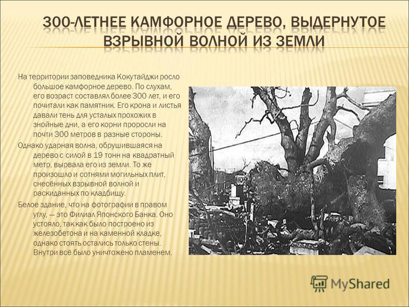 На территории заповедника Кокутайджи росло большое камфорное дерево. По слухам, его возраст составлял более 300 лет, и его почитали как памятник. Его крона и листья давали тень для усталых прохожих в знойные дни, а его корни проросли на почти 300 мет