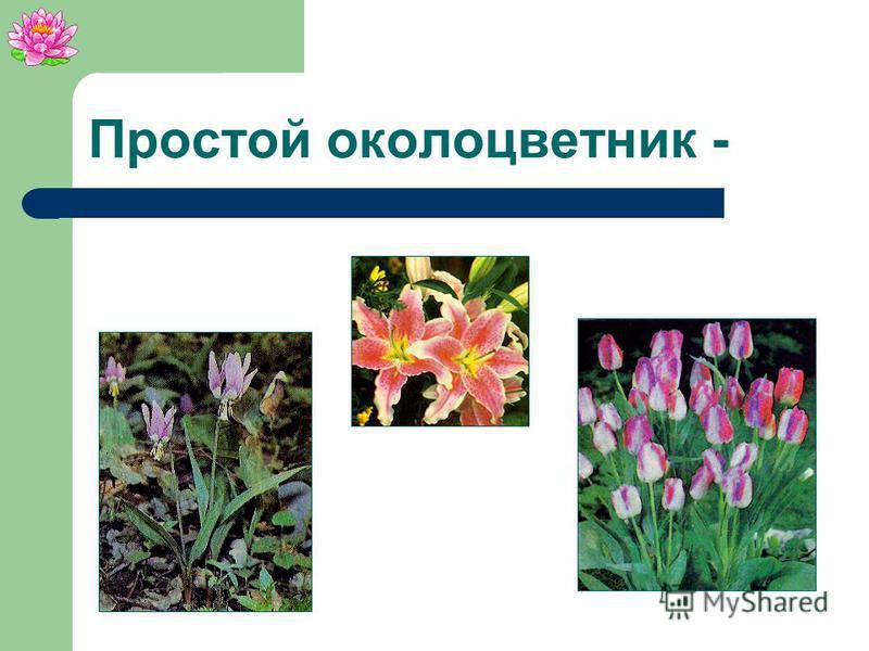 Простой околоцветник Листочки околоцветника Тычинки Цветоложе Цветоножка Пестик