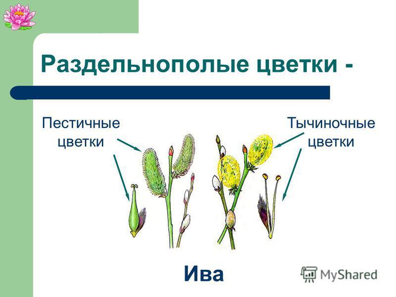 Раздельнополые цветки - цветки, в которых имеются либо пестики, либо тычинки.