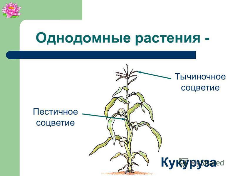 Однодомные растения - растения, у которых пестичные и тычиночные цветки развиваются на одном растении.