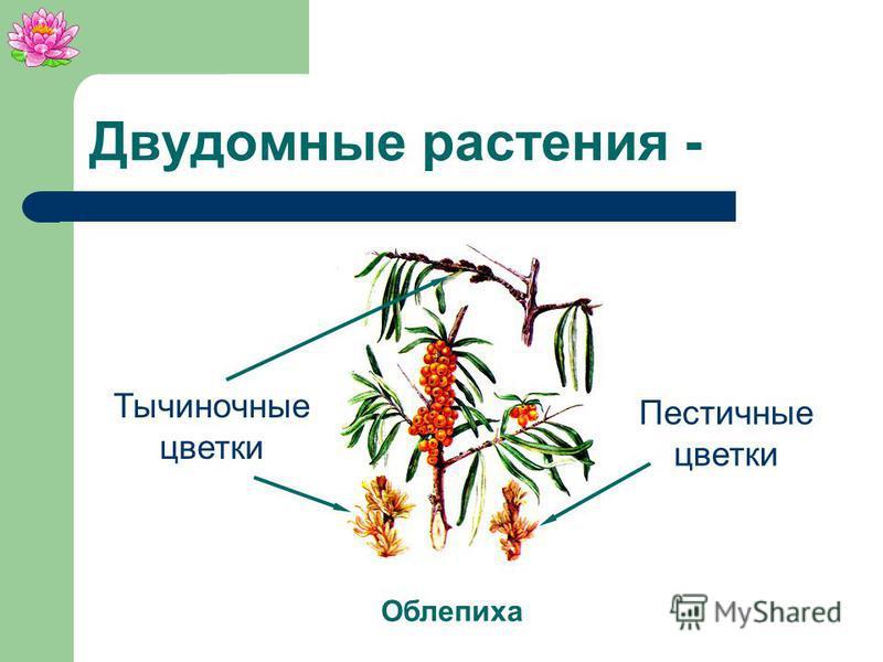 Двудомные растения - растения, у которых пестичные цветки развиваются на одном растении, а тычиночные – на другом.