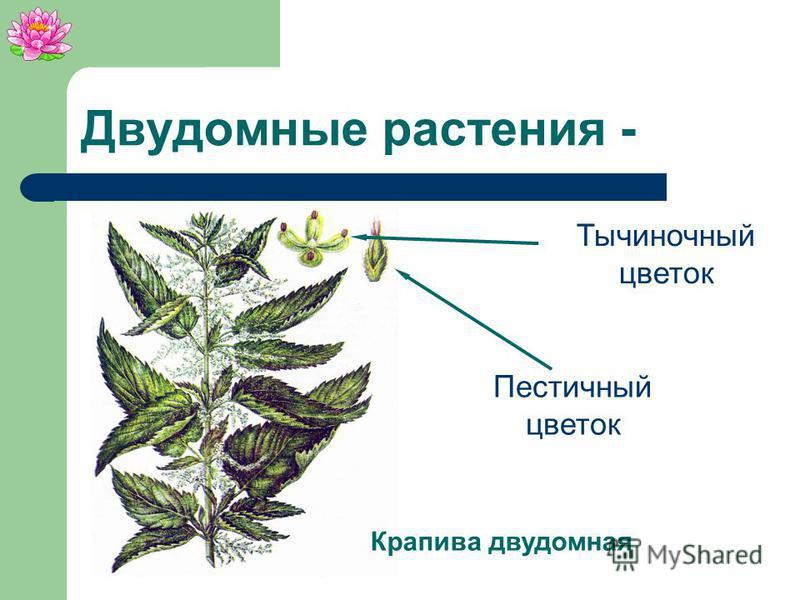 Облепиха Тычиночные цветки Пестичные цветки