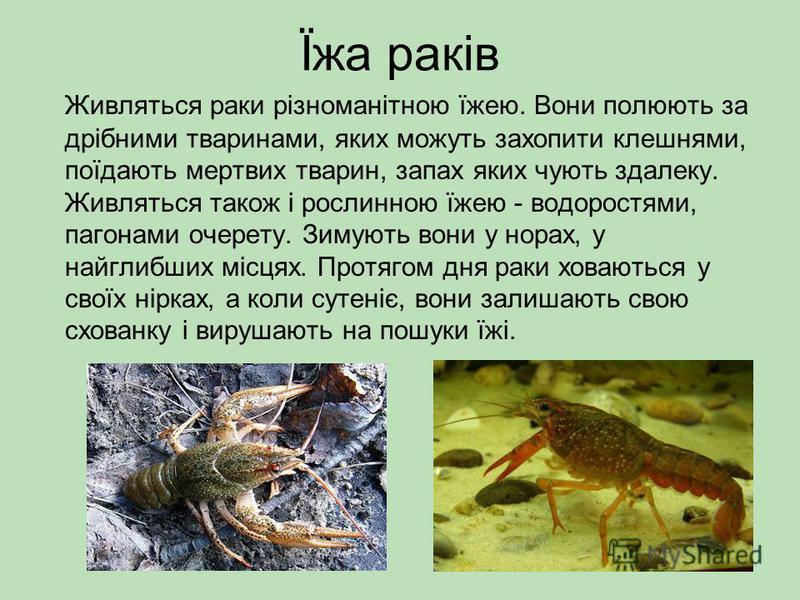 Їжа раків Живляться раки різноманітною їжею. Вони полюють за дрібними тваринами, яких можуть захопити клешнями, поїдають мертвих тварин, запах яких чують здалеку. Живляться також і рослинною їжею - водоростями, пагонами очерету. Зимують вони у норах,