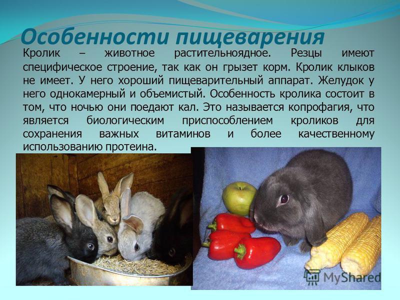 Особенности пищеварения Кролик – животное растительноядное. Резцы имеют специфическое строение, так как он грызет корм. Кролик клыков не имеет. У него хороший пищеварительный аппарат. Желудок у него однокамерный и объемистый. Особенность кролика сост