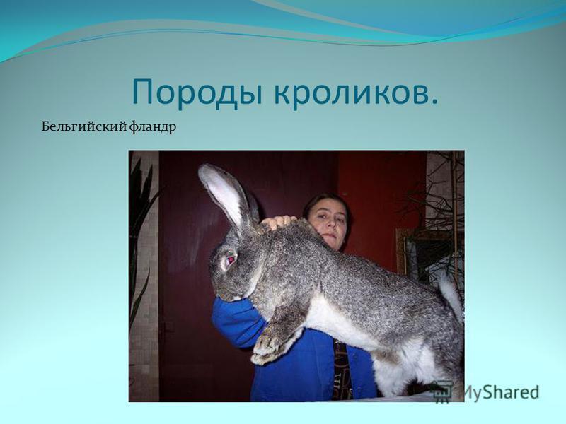 Породы кроликов. Бельгийский фландр