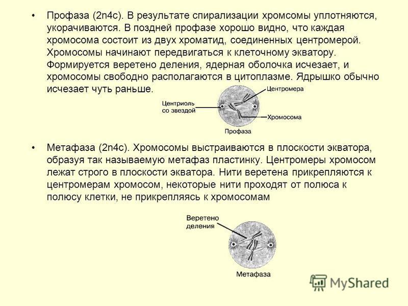 Профаза (2n4 с). В результате спирализации хромосомы уплотняются, укорачиваются. В поздней профазе хорошо видно, что каждая хромосома состоит из двух хроматид, соединенных центромерой. Хромосомы начинают передвигаться к клеточному экватору. Формирует