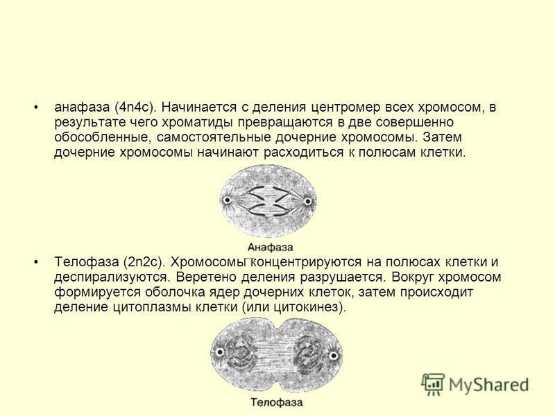 анафаза (4n4 с). Начинается с деления центромер всех хромосом, в результате чего хроматиды превращаются в две совершенно обособленные, самостоятельные дочерние хромосомы. Затем дочерние хромосомы начинают расходиться к полюсам клетки. Телофаза (2n2 с