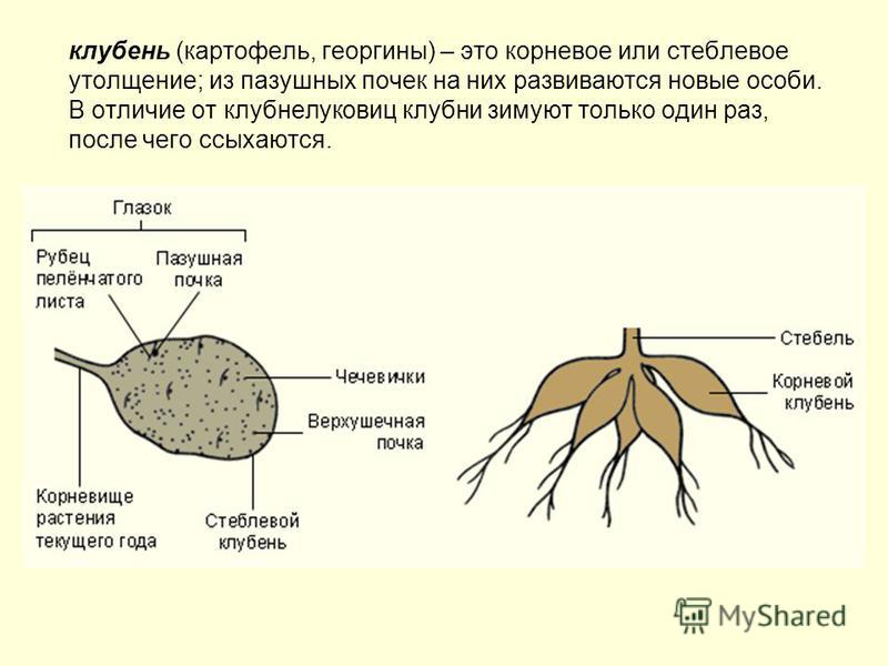 клубень (картофель, георгины) – это корневое или стеблевое утолщение; из пазушных почек на них развиваются новые особи. В отличие от клубнелуковиц клубни зимуют только один раз, после чего ссыхаются.