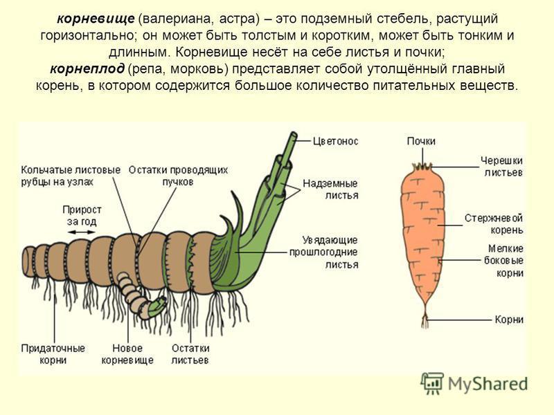 корневище (валериана, астра) – это подземный стебель, растущий горизонтально; он может быть толстым и коротким, может быть тонким и длинным. Корневище несёт на себе листья и почки; корнеплод (репа, морковь) представляет собой утолщённый главный корен