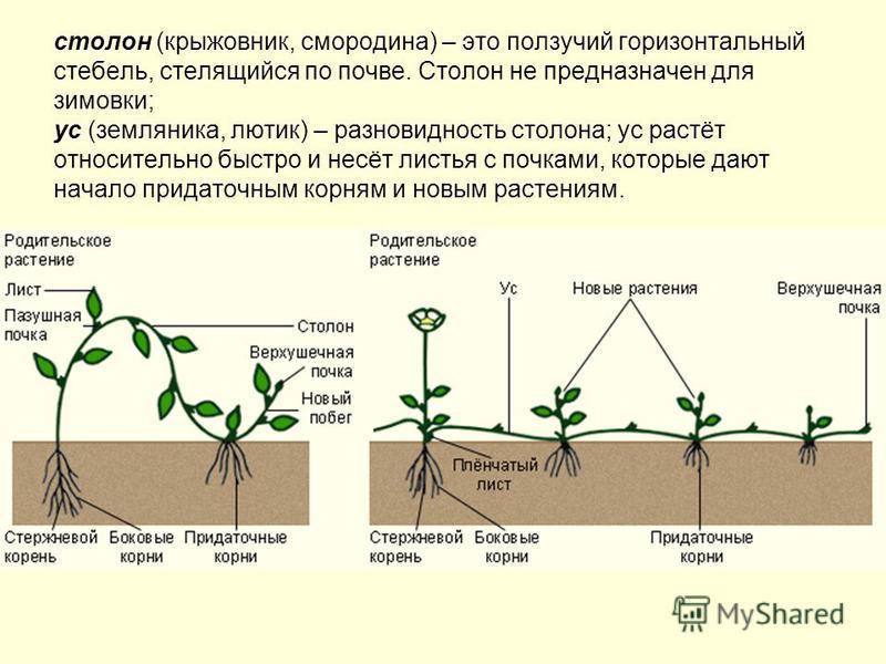 столон (крыжовник, смородина) – это ползучий горизонтальный стебель, стелющийся по почве. Столон не предназначен для зимовки; ус (земляника, лютик) – разновидность столона; ус растёт относительно быстро и несёт листья с почками, которые дают начало п