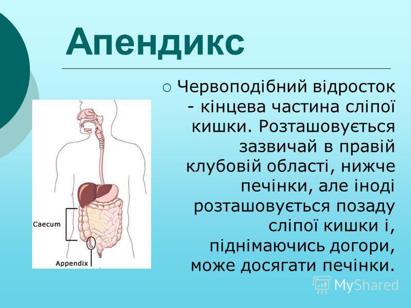 Апендикс Червоподібний відросток - кінцева частина сліпої кишки. Розташовується зазвичай в правій клубовій області, нижче печінки, але іноді розташовується позаду сліпої кишки і, піднімаючись догори, може досягати печінки.