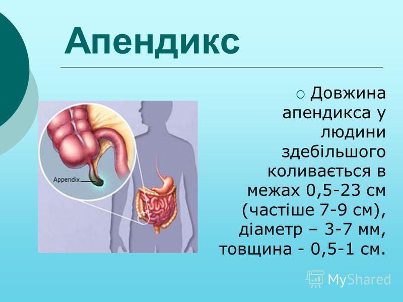 Довжина апендикса у людини здебільшого коливається в межах 0,5-23 см (частіше 7-9 см), діаметр – 3-7 мм, товщина - 0,5-1 см. Апендикс