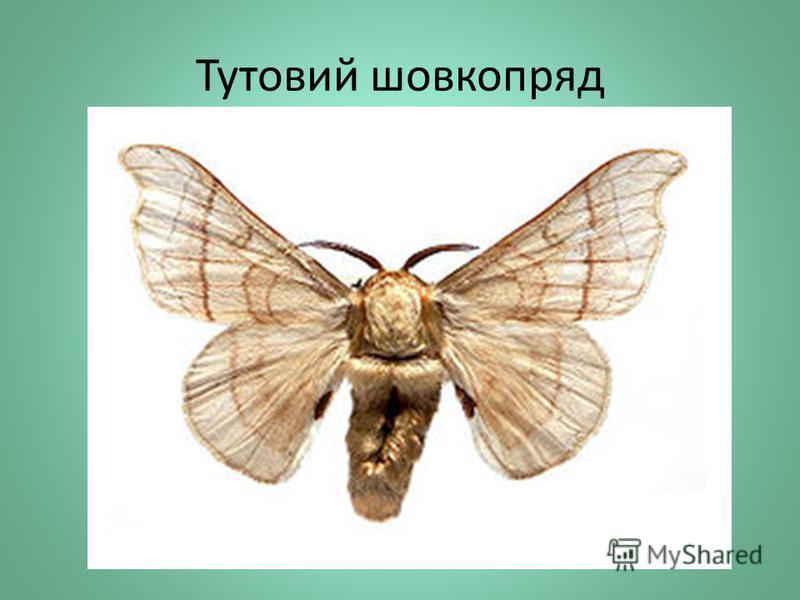 Тутовий шовкопряд