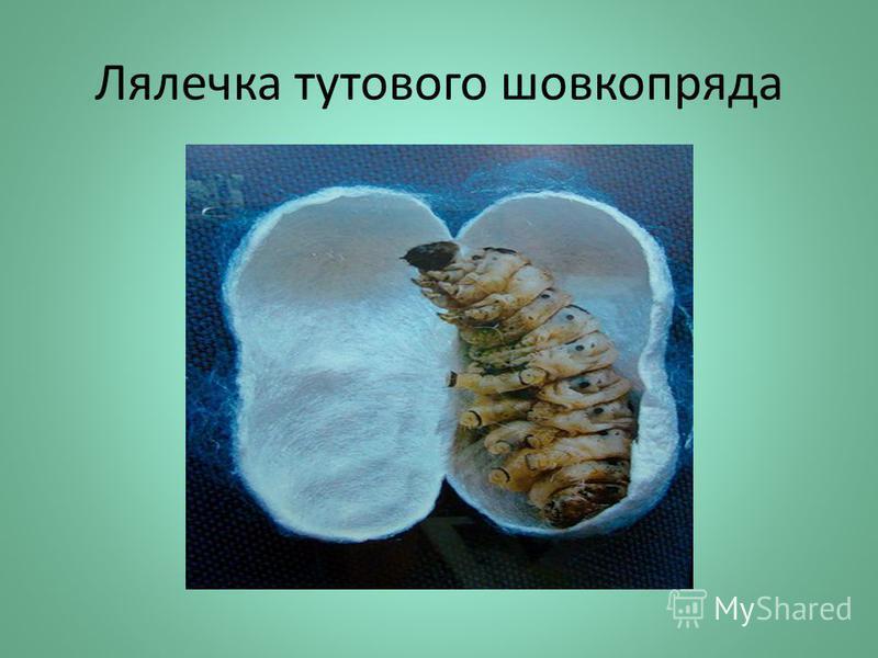 Лялечка тутового шовкопряда