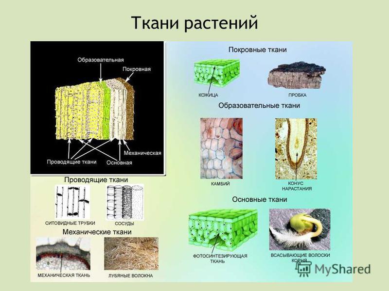 Ткани растений
