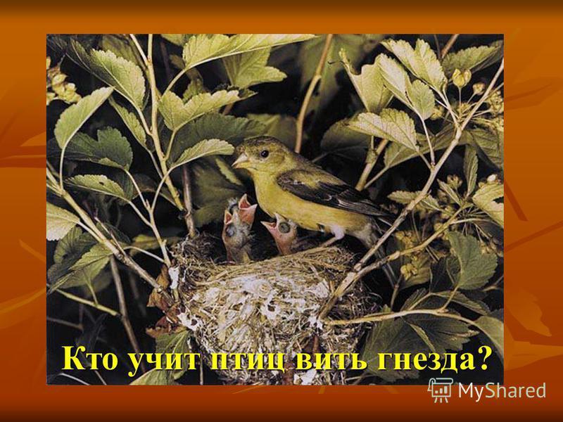 Кто учит птиц вить гнезда?