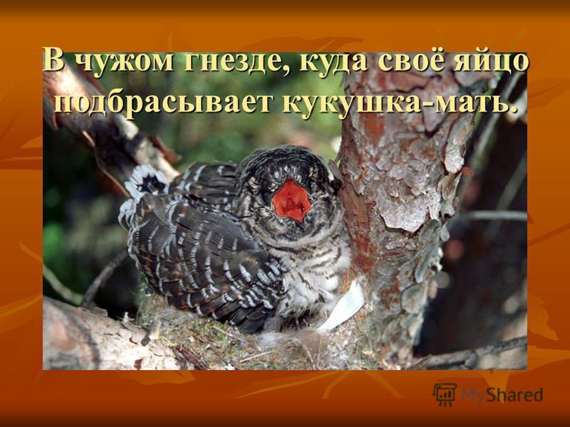 В чужом гнезде, куда своё яйцо подбрасывает кукушка-мать.