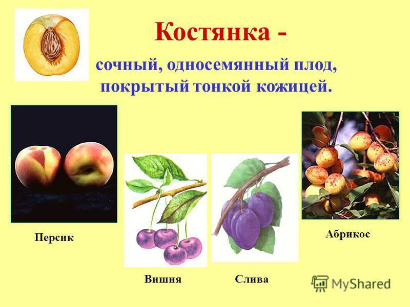 Костянка - сочный, односемянный плод, покрытый тонкой кожицей. Абрикос Персик Вишня Слива