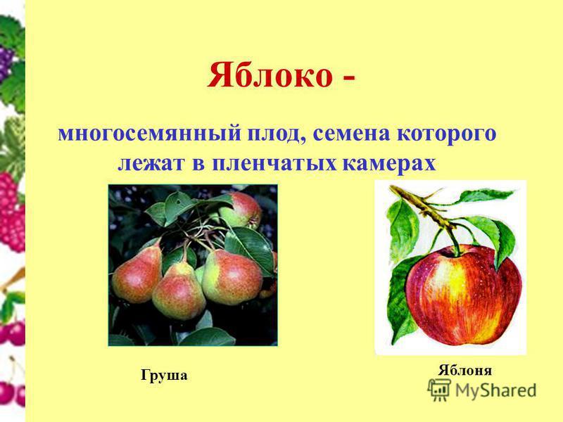 Яблоко - многосемянный плод, семена которого лежат в пленчатых камерах Яблоня Груша