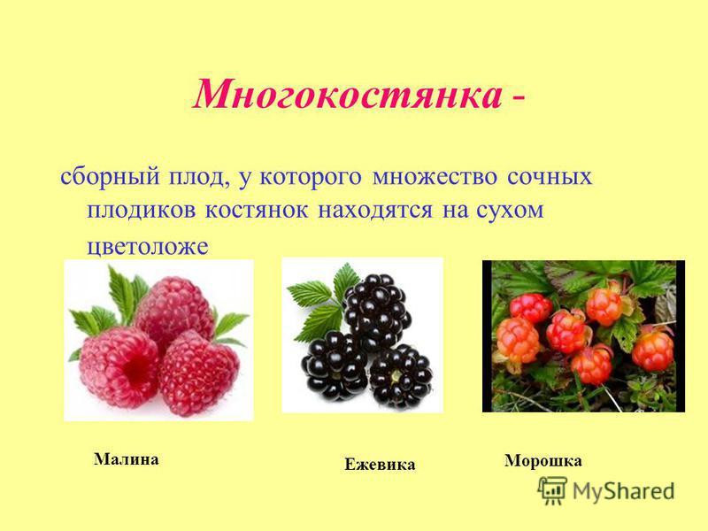 Многокостянка - сборный плод, у которого множество сочных плодиков костянок находятся на сухом цветоложе Малина Ежевика Морошка