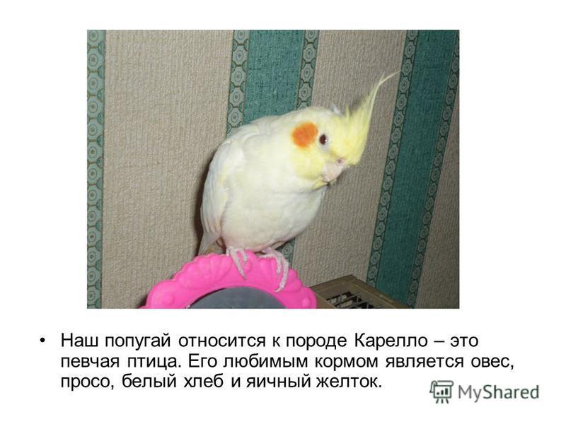 Наш попугай относится к породе Карелло – это певчая птица. Его любимым кормом является овес, просо, белый хлеб и яичный желток.