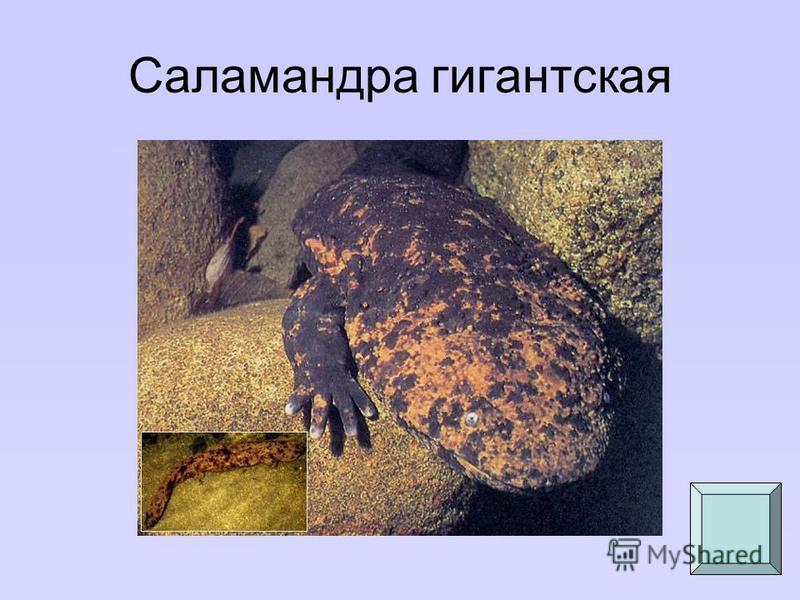 Саламандра гигантская