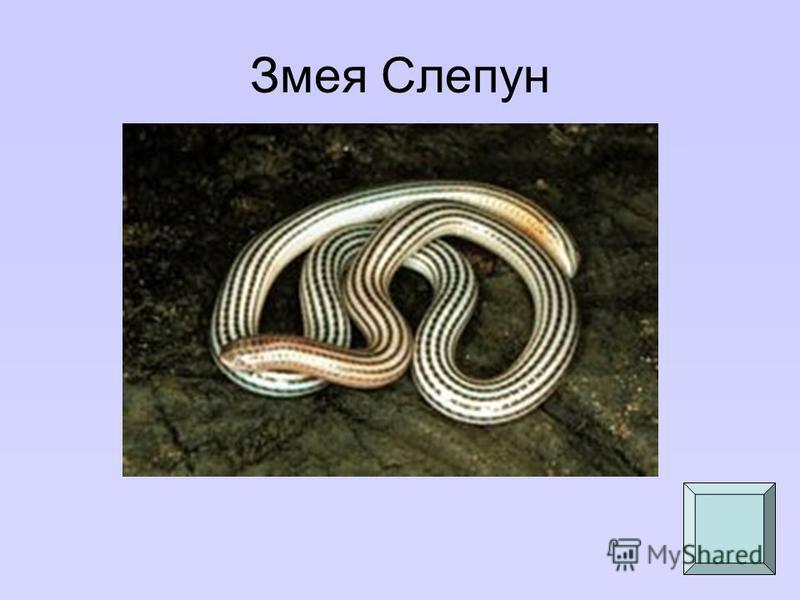 Змея Слепун