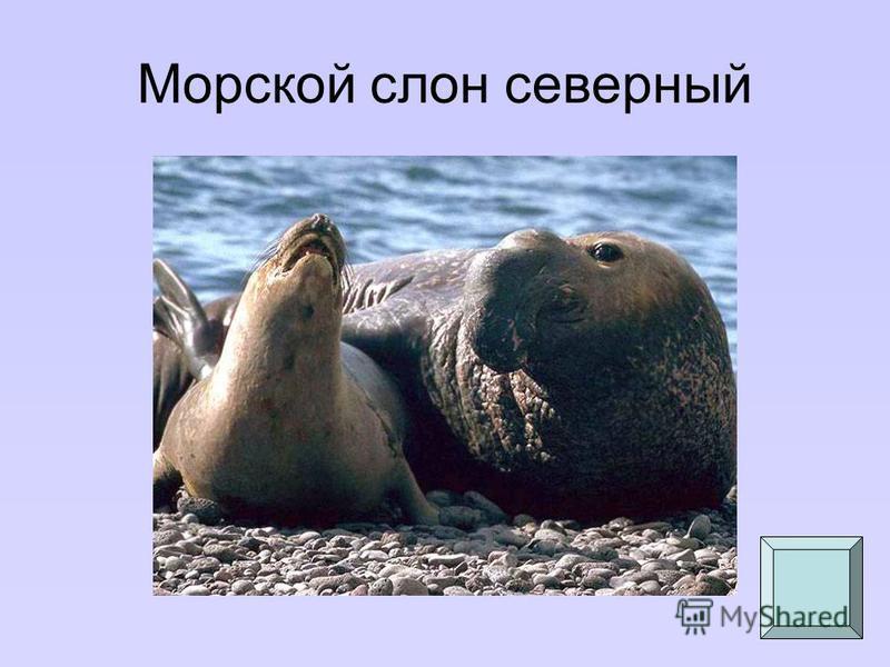 Морской слон северный