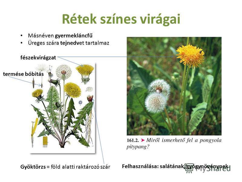 Rétek színes virágai Másnéven gyermekláncfű Üreges szára tejnedvet tartalmaz fészekvirágzat Gyöktörzs = föld alatti raktározó szár termése bóbitás Felhasználása: salátának, gyógynövénynek