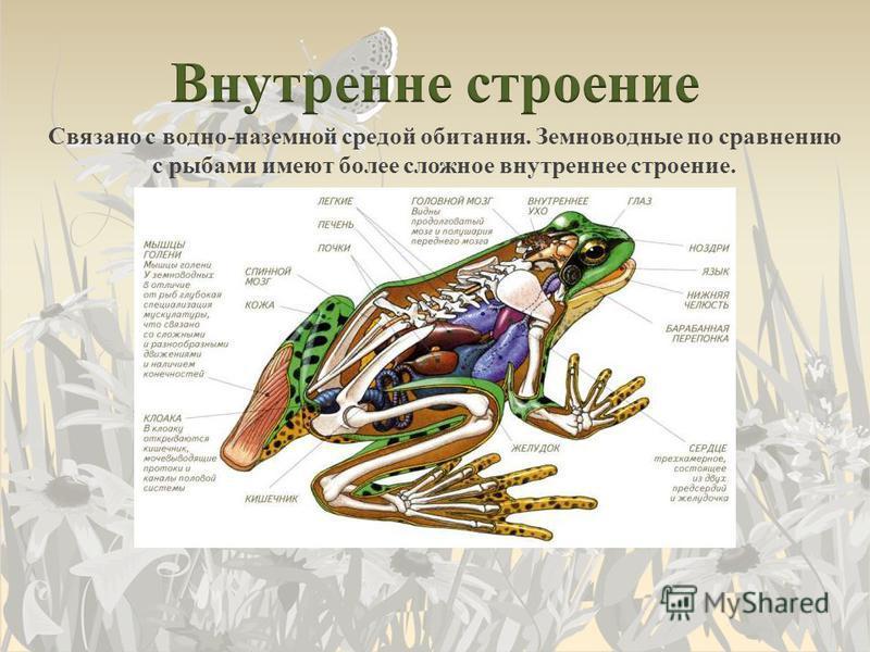 Связано с водно-наземной средой обитания. Земноводные по сравнению с рыбами имеют более сложное внутреннее строение.