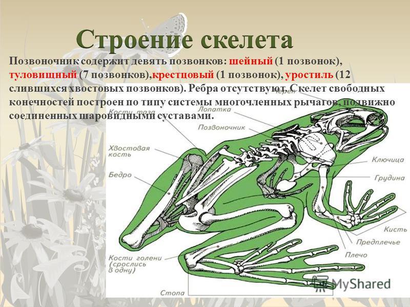 Позвоночник содержит девять позвонков: шейный (1 позвонок), туловищный (7 позвонков),крестцовый (1 позвонок), уростиль (12 слившихся хвостовых позвонков). Ребра отсутствуют. Скелет свободных конечностей построен по типу системы многочленных рычагов,