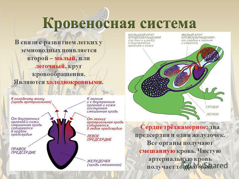 В связи с развитием легких у земноводных появляется второй – малый, или легочный, круг кровообращения. Являются холоднокровными. Сердце трёхкамерное: два предсердия и один желудочек. Все органы получают смешанную кровь. Чистую артериальную кровь полу