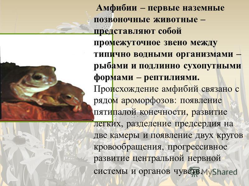 Амфибии – первые наземные позвоночные животные – представляют собой промежуточное звено между типично водными организмами – рыбами и подлинно сухопутными формами – рептилиями. Происхождение амфибий связано с рядом ароморфозов: появление пятипалой кон