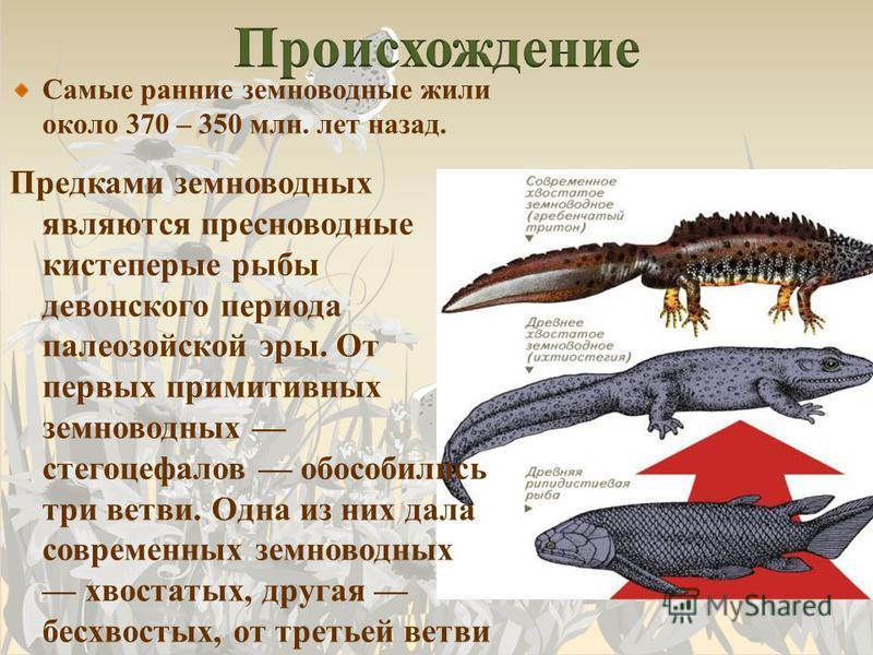 Самые ранние земноводные жили около 370 – 350 млн. лет назад. Предками земноводных являются пресноводные кистеперые рыбы девонского периода палеозойской эры. От первых примитивных земноводных стегоцефалов обособились три ветви. Одна из них дала совре