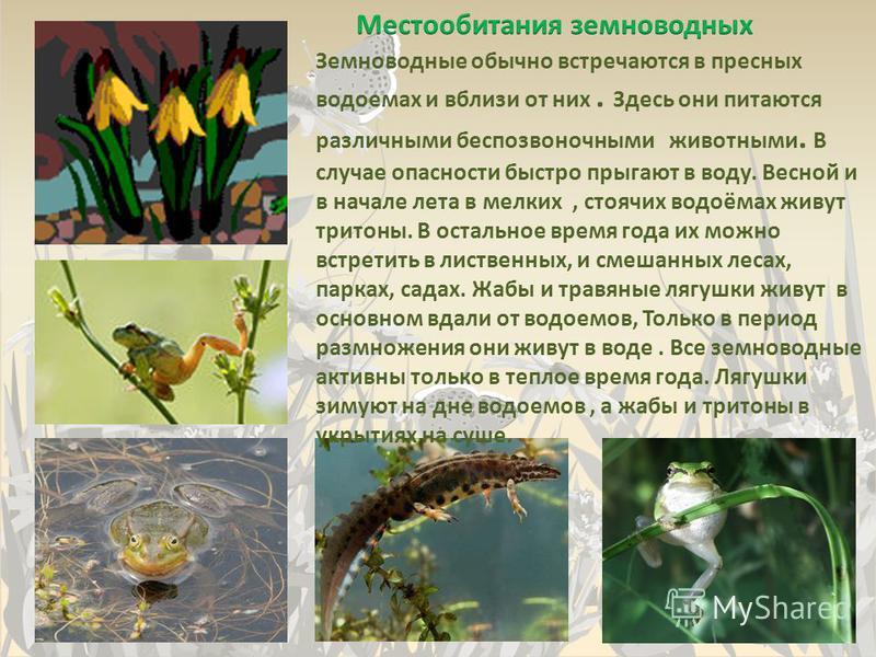 Земноводные обычно встречаются в пресных водоемах и вблизи от них. Здесь они питаются различными беспозвоночными животными. В случае опасности быстро прыгают в воду. Весной и в начале лета в мелких, стоячих водоёмах живут тритоны. В остальное время г